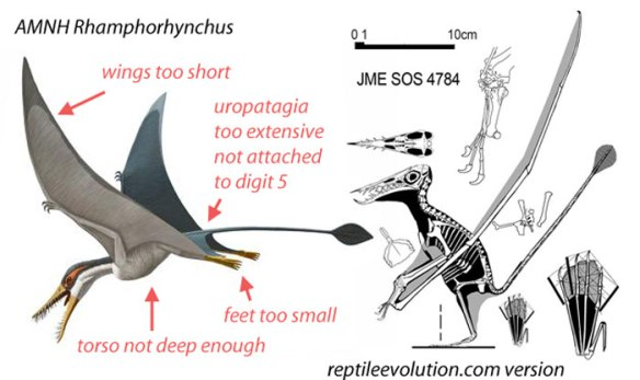 Figure 6. The AMNH Rhamphorhynchus with errors noted alongside a more accurate rendition.