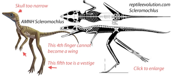 "Figure 3. According to the AMNH, Scleromochlus is ""one of the closest early cousins of pterosaurs."" Oddly, they gave it the skull of Longisquama. Note the vestigial hands. These cannot elongate to become wings and pedal digit 5 is a vestige that cannot elongate to match basal pterosaurs."