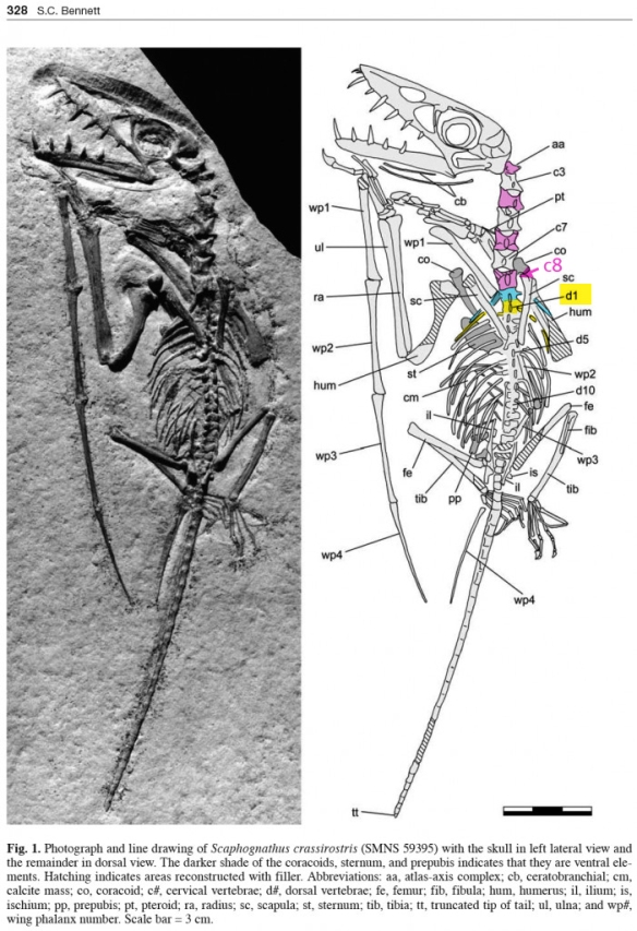 The SMNS 59395 specimen of Scaphognathus. Even numbered neck vertebrae are pink. Note the ninth has dorsal ribs that extend into the chest cavity despite the fact that they do not contact the sternal complex. The ninth vert is also much smaller than #8.