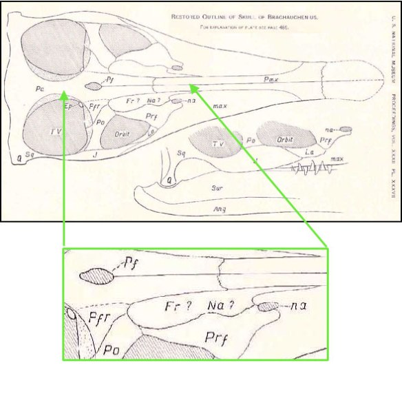 Figure 2. Brachauchenius showing the fusion of the parietal and frontal and the resulting confusion over the nasal.