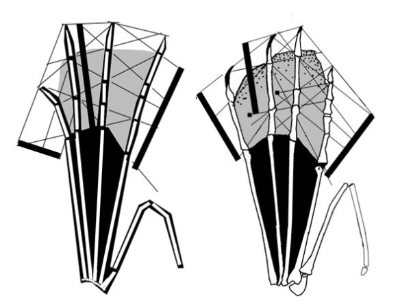 """Figure 4. Left: Right pes dorsal view of CM11427 compared to the """"darkling"""" specimen pes on right. Not quite the same proportions on each of the phalanges."""