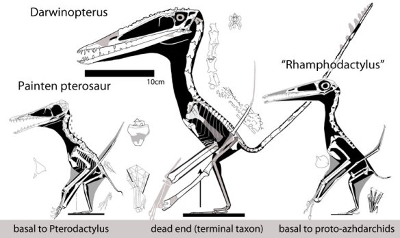 """Figure 5. The Painten pterosaur, Darwinopterus and """"Rhamphodactylus"""" to scale showing their variety and their transitional status."""