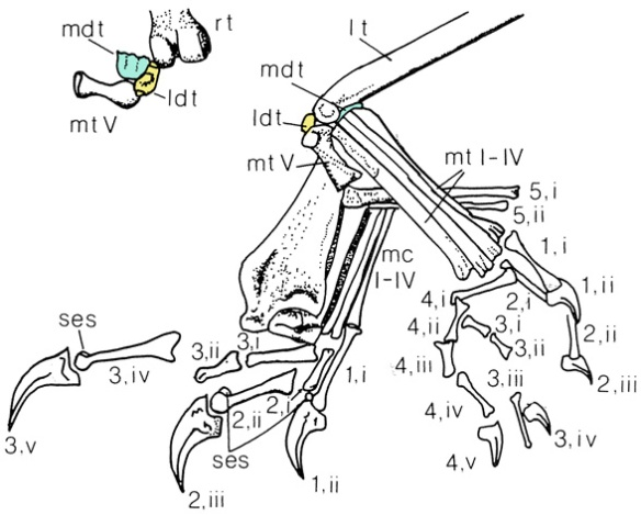 Figure 6. Tarsals of Dimorphodon BMNH 41212 specimen according to Padian 1983. Figure 5 doesn't match.