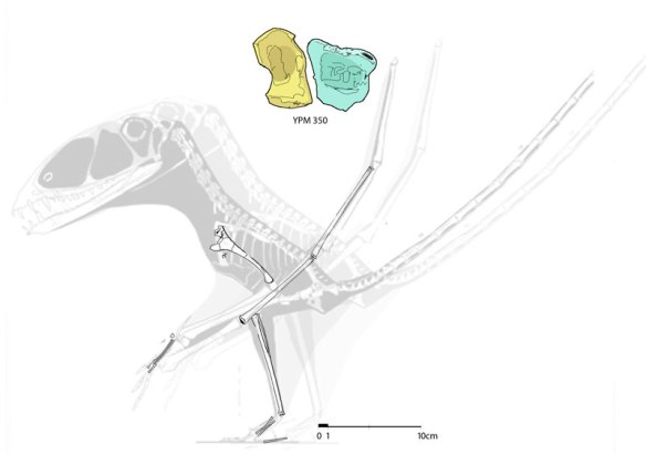 Figure 8. About the size of the classic Dimorphodon, the YPM 350 specimen has unfused tarsals. Note the very few bones. The specimen is extremely disarticulated. The other two tarsals could have been easily scattered.