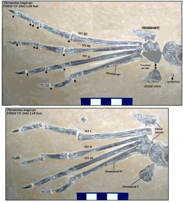 Figure 4. Foot and tarsus of Pteranodon, FHSM-P-2062 and restored and relabeled. From OceansofKansas.com.