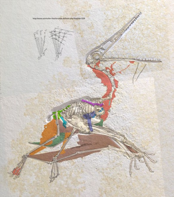Figure 2. Fossnet Pterodactylus 1359 with soft tissues colorized.