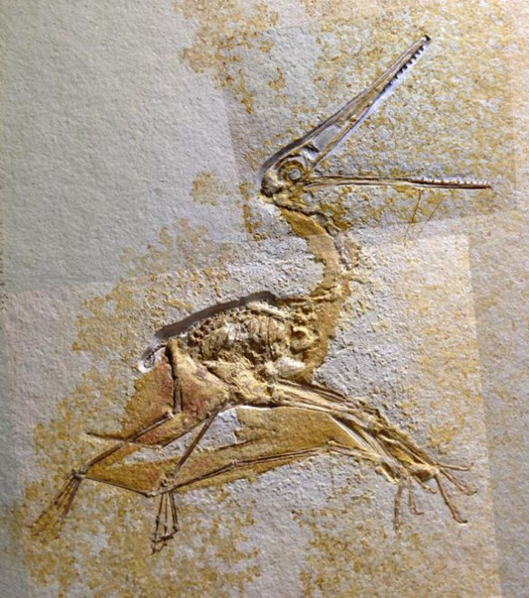 Figure 1. Fossnet Pterodactylus 1359.