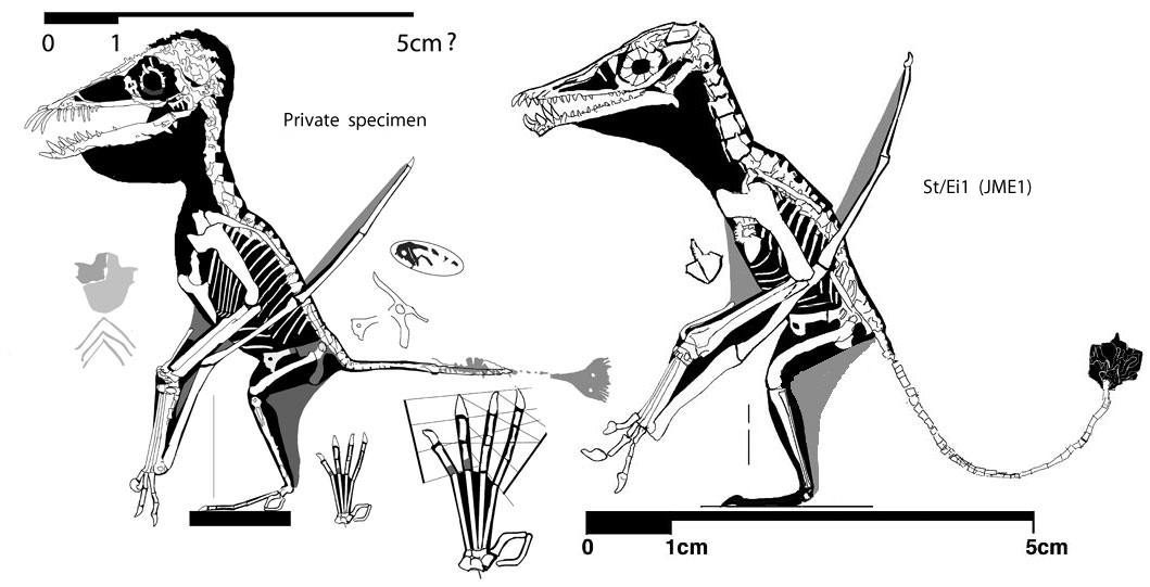 Figure 3. Click to enlarge. Private pterosaur #2042 together with St/Ei1, which nests at the base of the ctenochasmatidade, close to Angustinaripterus.