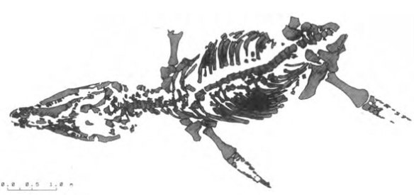 Figure 2. Kronosaurus boyacensis (Hampe and Leimkuhler 1996) in situ.