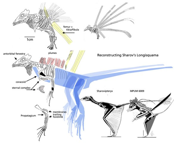 Figure 1. Longisquama as traced by Sharov 1970. Workers have been searching for the predecessor of pterosaurs. Why didn't they look here?