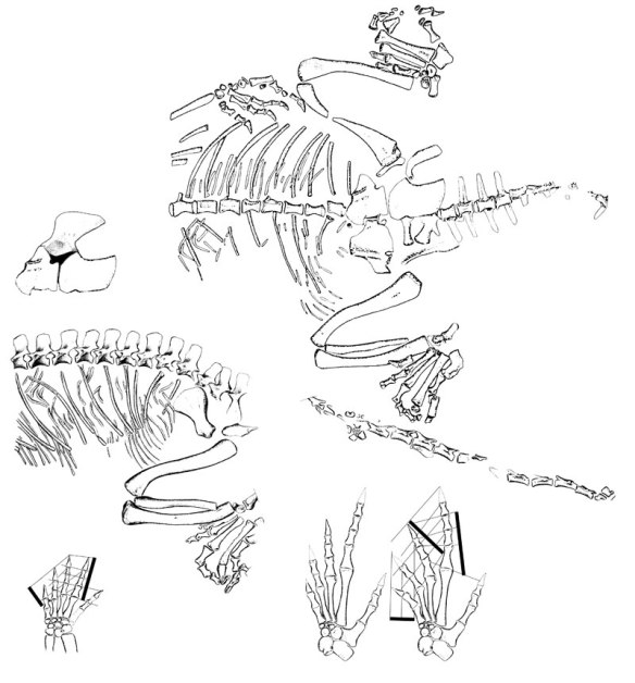 Figure 1. Noteosuchus is considered a basal rhynchosaur, but it nests with the rhynchocephalian, Sapheosaurus. hmmm.