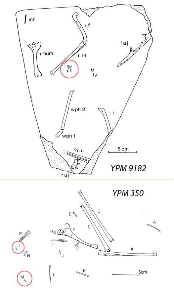 Figure 9. Location of the tarsals (red circles) on the YPM 350 and YPM 9182 specimens attributed to Dimorphodon by Padian 1983. Do you think some other tarsals could have escaped?