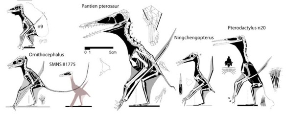 Figure 2. Click to enlarge. Painten pterosaur compared to phylogenetic sister taxa. Ornithocephalus and SMNS 81775 are the basal taxa here. Note that while everything else grows on derived taxa, the metacarpus stays the same size. The large size of the Painten pterosaur, along with the greater length of pedal digit 3 and the brevity of the metacarpus sets it apart in its own clade, of which this the first known representative. Larger than its relatives, this is an unlikely juvenile (contra Hone, see below).