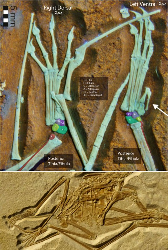 Figure 10. The Painten pterosaur with tarsals colorized. There are four of them. Note the cylindrical shape of the distal tibia/fibula.
