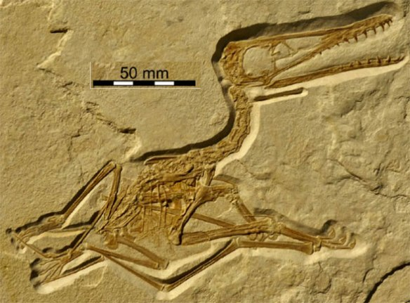 Figure 1. The Painten pterosaur (privately owned) from Frey and Tischlinger 2013. Excellent preservation and preparation here.