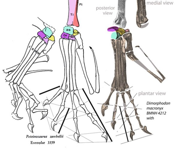Figure 4. Peteinosaurus and Dimorphodon BMNH4212 pedes. Four tarsals are present on both.