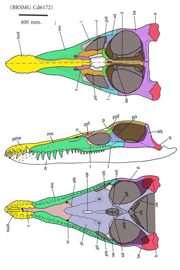 Figure 1. Although this pliosaur is missing the skull roofing bones, Sassoon et al. 2012 restored the nasals and frontals of BRSMG Cd6172 like so. Color added for clarity.