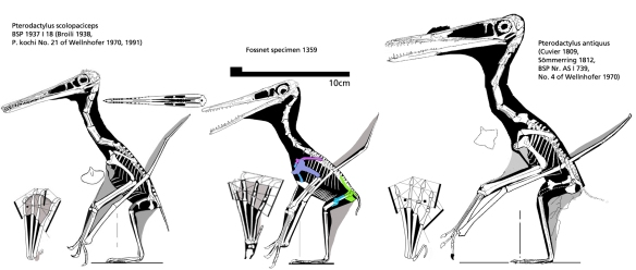 Figure 3. Fossnet Pterodactylus compared to two other related specimens. Note the differences in various bone shapes.