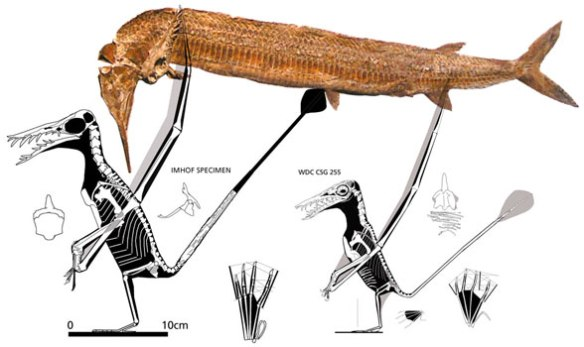 Fig. 5. Rhamphorhynchus specimens that have been bitten and fossilized with Aspidorhynchus, a Solnhofen fish of 60cm length.