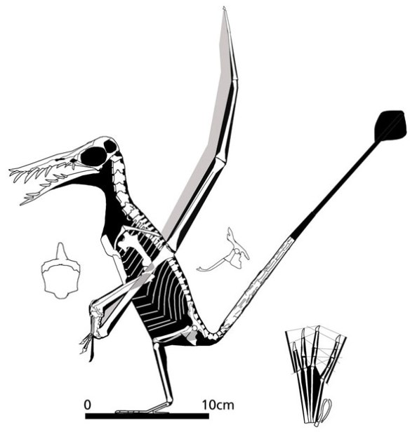 Figure 4. Rhamphorhynchus from the Imhof collection.