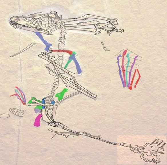 Figure 2. Tracing of the Maxberg specimen of Scaphognathus.