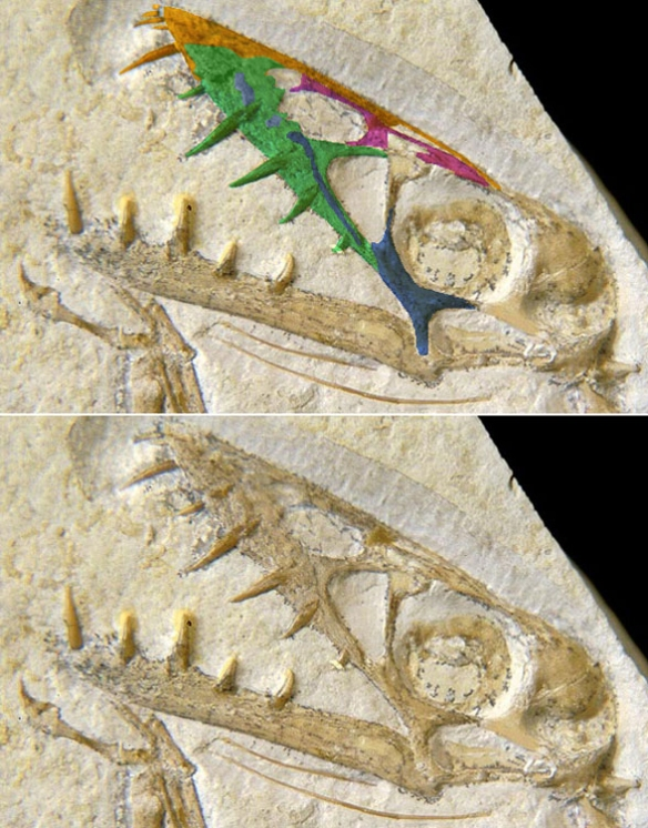 Figure 3. Scaphognathus SMNS 59395 with anterior skull bones colorized. There are four teeth there. Are two replacement teeth? That would be an autapomorphy.