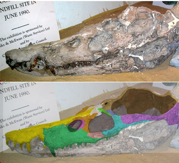 Figure 6. Simolestes fossil skull with a few more roofing bones present. Everything appears to be in the right place. Perhaps some sort of fusion is present between the nasal the prefrontal.