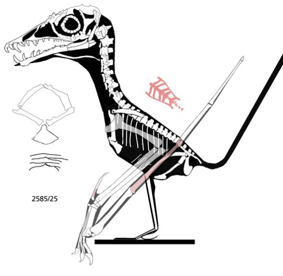 Figure 2. The PIN 2585/25 specimen of Sordes. This is the specimen that shows the skull in lateral view.
