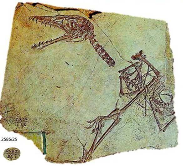 Figure 4. Sordes specimen PIN2585/25. No soft tissue here.
