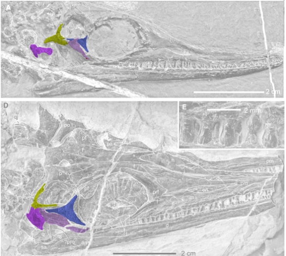 Figure 1. The unidentified supratemporal (in yellow/green) and quadratojugal (in lavender) in two Wumengosaurus specimens. Postorbital in violet. Squamosal in magenta. this is the ichthyosaur temporal region pattern, losing the lateral temporal fenestra, but gaining a secondary lateral temporal fenestra by the raising of the quadratojugal.