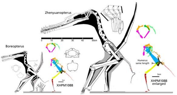 Figure 2. The partial pterosaur XHPM1088 to scale with Boreopterus and Zhenyuanopterus and also scaled up to a similar humerus length with Zhenyuanopterus.  Note the coracoids don't match. This is one of the few pterosaurs in which the tibia is shorter than the femur. Boreopterus is similar in this regard.