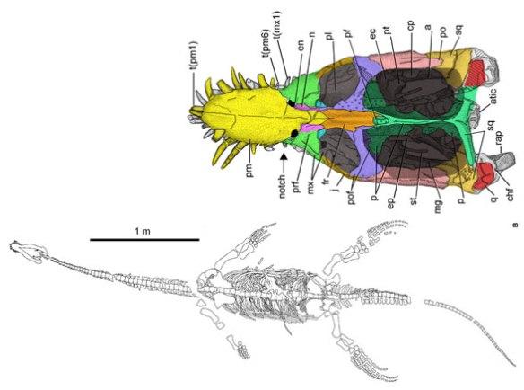 Figure 1. Yunguisaurus, a new pistosaurid sauropterygian.