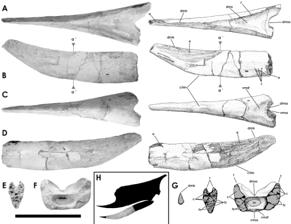 Figure 1. Banguela from several angles. Note the lack of teeth on this dsungaripterid.