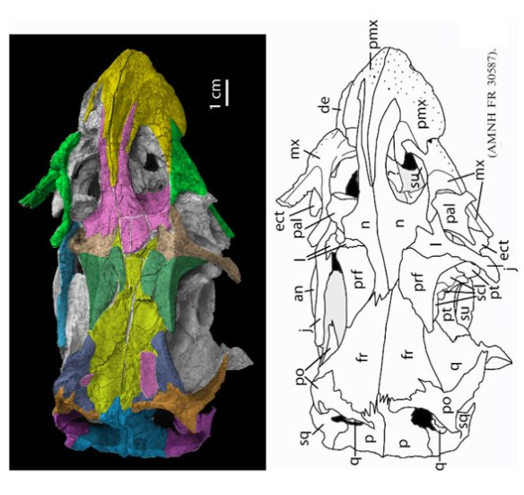 Figure 1. Dorsal view of Effigia skull from Nesbitt 2007. At left postfrontals are identified. Bits of the broken nasals are also in that cranial area.