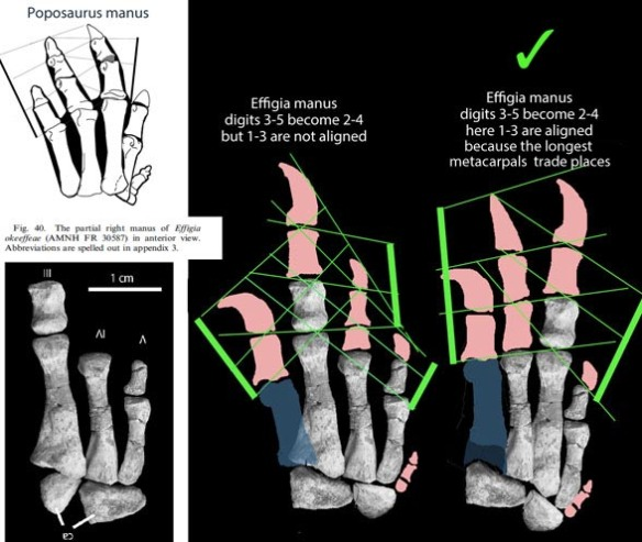 Figure 1. The manus of Effigia reconstructed. Metacarpal 1 was described with measurements. Here two possible hands can be restored, but only when one switches the longest metacarpals. That's the one I think will prevail.