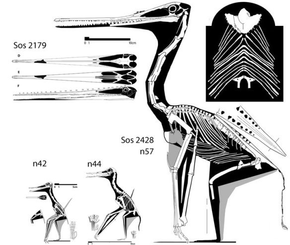 Figure 2. The flightless pterosaur, Sos 2428, along with two ancestral taxa, both fully volant. Note the reduction of the wing AND the expansion of the torso. We don't know the torso of Q. northropi. It could be small or it could be very large.