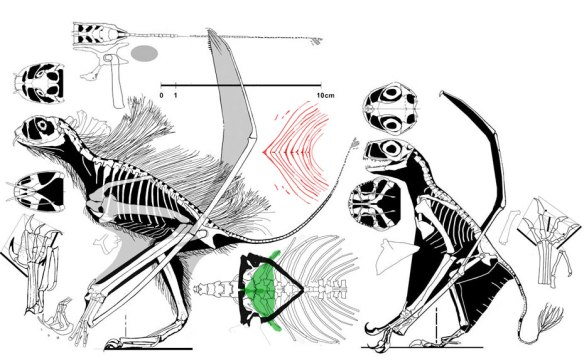 Figure 3. Click to enlarge. The Jeholopterus holotype (left) alongside the referred specimen (right). No doubt they were related, but were likely not conspecific.