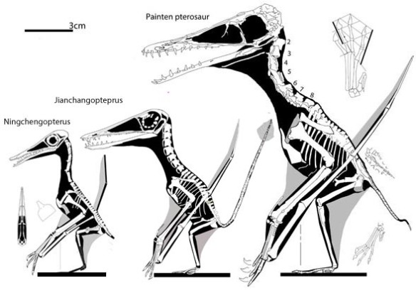 Figure 2. Jianchangopterus between Ningchengopterus and the Painten pterosaur. Note in Jianchangopterus the metacarpus is relatively shorter, especially relative to the ulna. The cervicals are more robust and relatively a little shorter. This is a reversal that makes Jianchangopterus more rhamph-like. You can't eyeball these things. You have to let the matrix and computer recover the relationships.