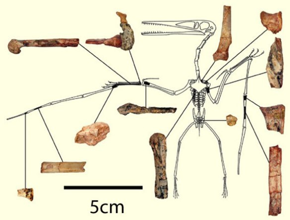 Figure 1. The bits and pieces of Kryptodrakon assembled into a Pterodactylus bauplan, from Andres, Clark and Xu 2014.