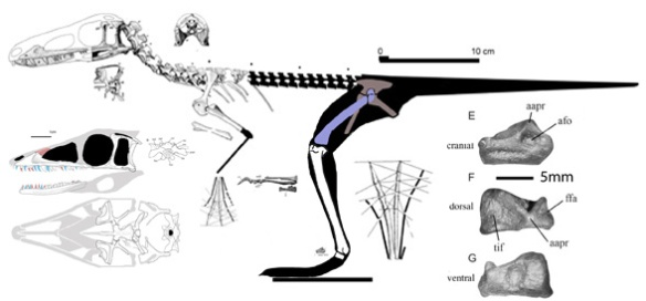 Figure 1. Lewisuchus from Romer 1972. Tibia and skull do no match published scale bars. Pelvis and femur are hypothetical. Skull above left per Romer. Below left per Bittencourt et al.