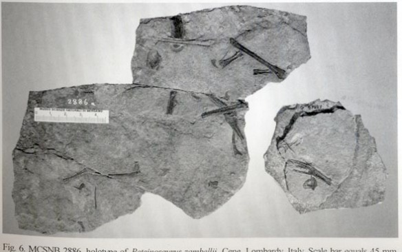 Figure 1. MCSNB 2886 a Triassic pterosaur in situ