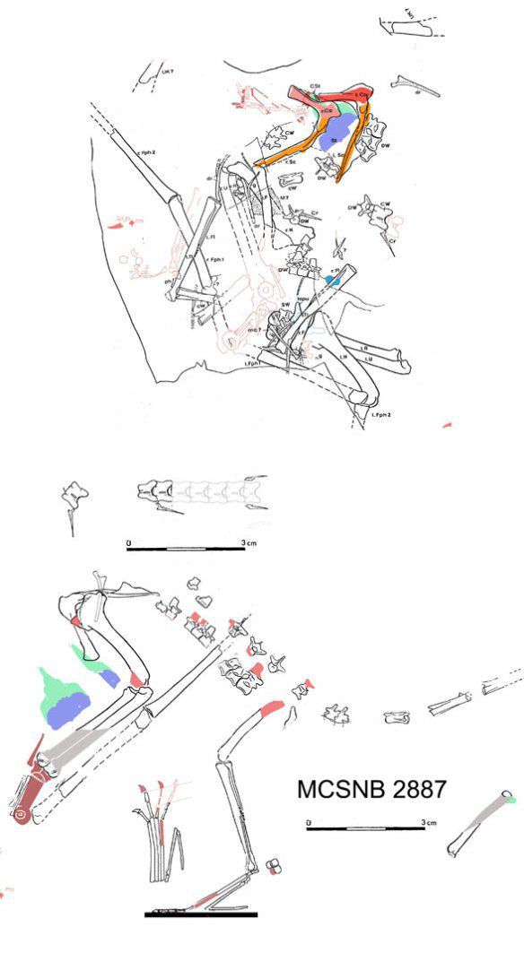Figure 1. MCSNB 2887 in situ and reconstructed as a basal dimorphodontid/basal anurognathid. It nests with Preondactylus.