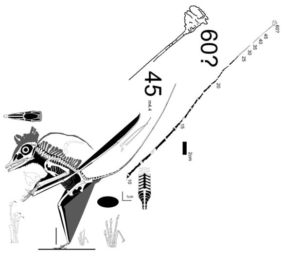 Figure 1. MFSN 19864 compared to MPUM 6009 another pterosaur with an attenuated tail without ossified reinforcements.