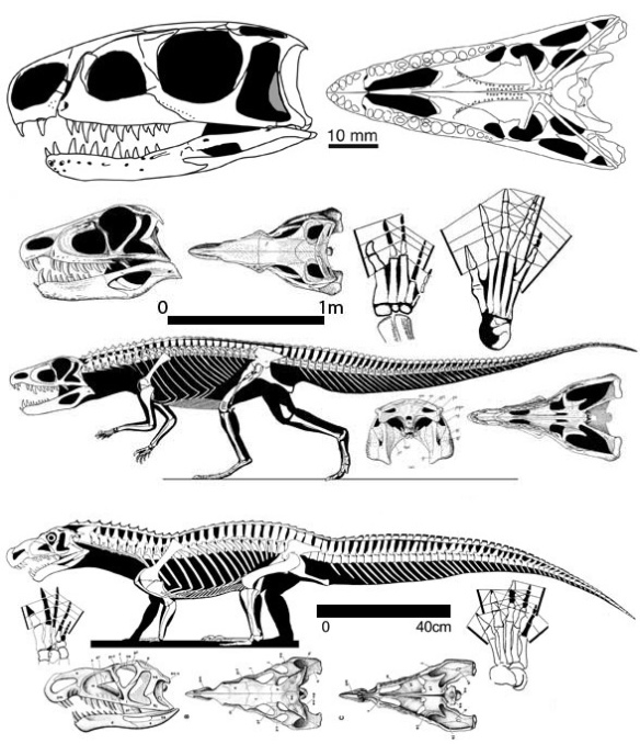 Figure 1. Osmolskina was a euparkeriid that was basal to the ornithosuchids, Ornithosuchus and Riojasuchus. Note the scale bars.