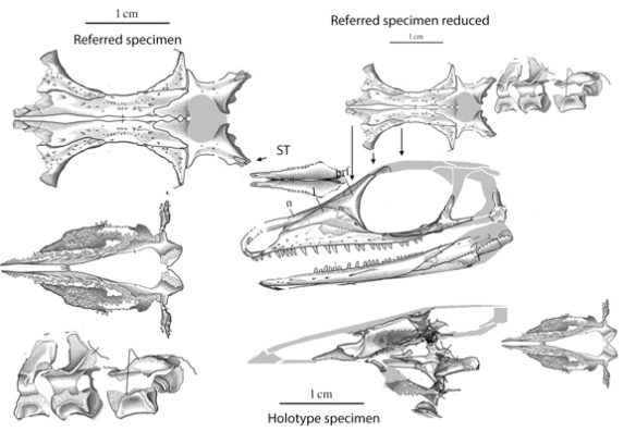 Figure 1. Orovenator (holotype on right) along with the larger referred specimen (on left, and scaled down to the size of the holotype above right). Arrows point to mismatches.