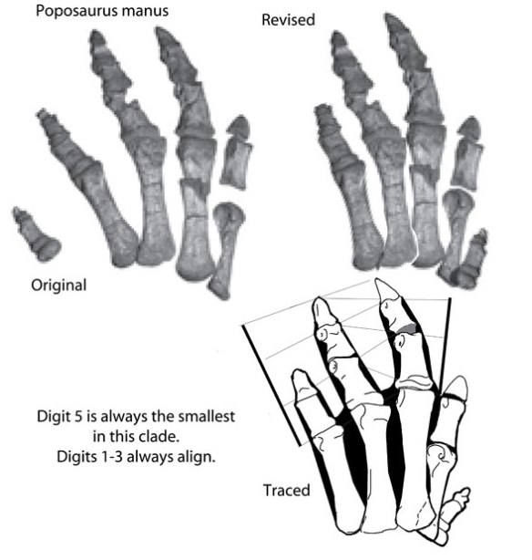 Figure 1. Poposaurus manus as originally restored and with digit 1 switched to 5.