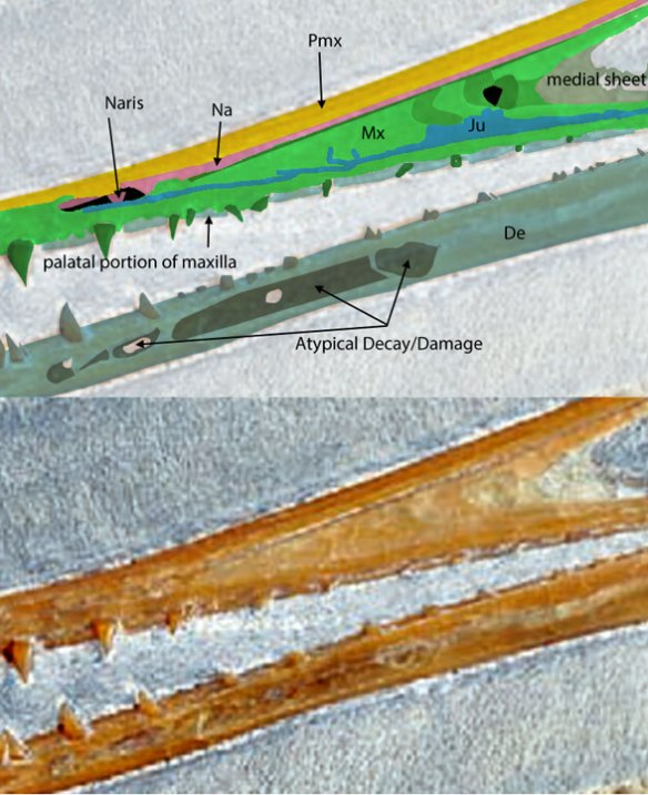 Figure 2. Closeup of the rostrum of this private Pterodactylus specimen with bone laminations identified.