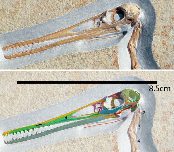 """Figure 1. Pterodactylus skull, privates collection,  from """"Weber 2013 Paleoeocology of pterosaurs 3 : Solnhofen"""". French Paleontological survey """"Fossiles""""."""