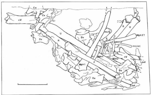 Figure 1 From Dalla Vecchia et al. 1983. Original identification of the pterosaur pellet elements. Scale bar = 1 cm.