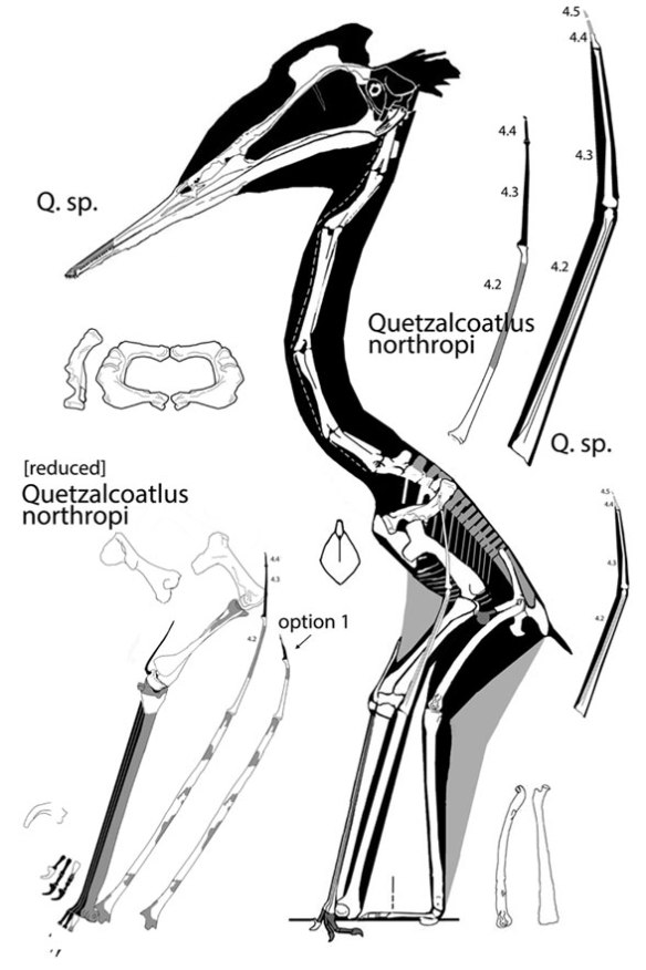 Figure 1 Quetzalcoatlus sp. compared to the large specimen wing, here reduced. I lengthened the unknown metacarpus to match the Q. sp. and other azhdarchid metacarpi. I offer the wing finger has reconstructed by the Langson lab and with filler reduced. Note m4.2 is narrower on the larger specimen, which doesn't make sense if Q. northropi was volant.
